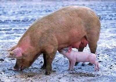 schweine vom bauernhof